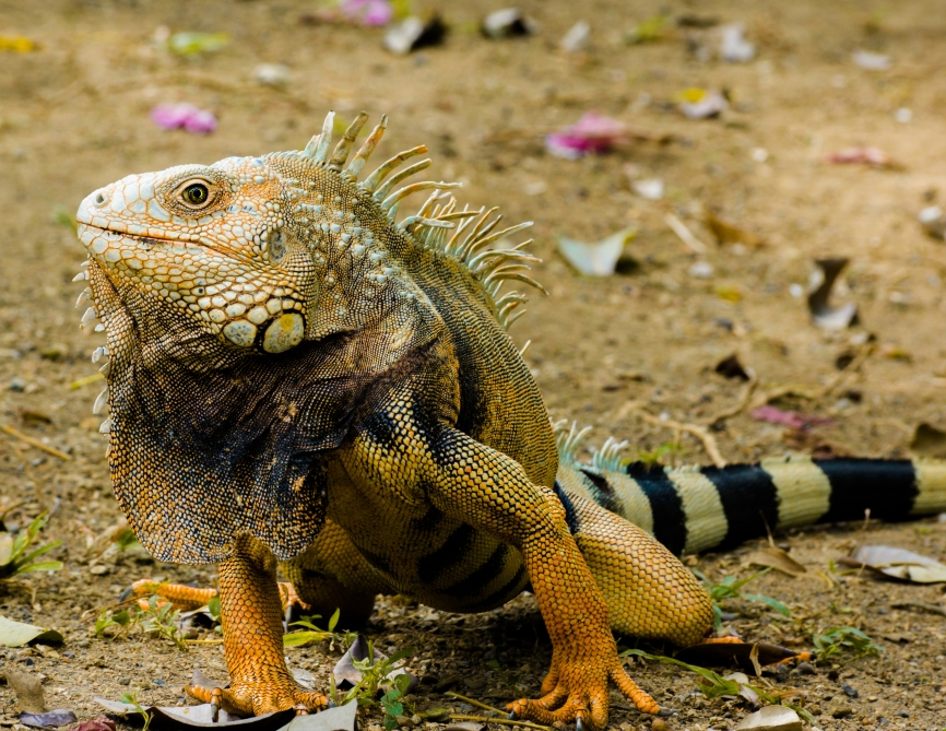 10. Iguana